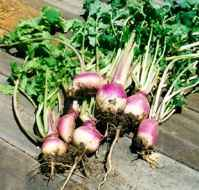 turnips2 - <>a garden for daily living<>